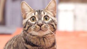 De gestreepte katkat onderzoekt de camera en beweegt zijn oren stock videobeelden