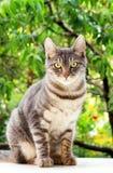 De gestreepte katkat zit Stock Afbeeldingen