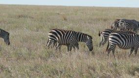 De gestreepte merrie met een onlangs geboren veulen die langs de savanne samen met de kudden lopen stock video
