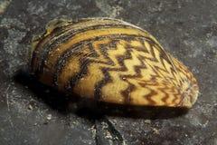 De gestreepte mosselen zijn invasieve species aan velen waterstoom stock afbeelding