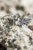 De gestreepte spin, Salticus-scenicus Stock Foto's