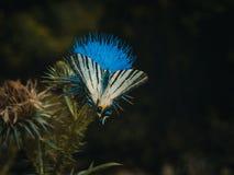 De Gestreepte Swallowtail-vlinder op carduus stock afbeeldingen
