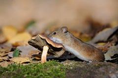 De gestreepte Veldmuis beklimt op paddestoel Royalty-vrije Stock Foto