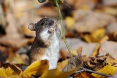 De gestreepte Veldmuis eet aanraking-me-niet installatie royalty-vrije stock afbeeldingen