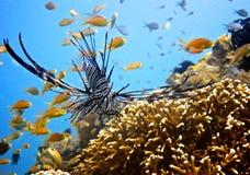De gestreepte Vissen van de Leeuw Stock Foto
