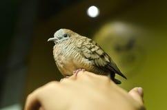 De gestreepte vogel van de Duif op een hand. Royalty-vrije Stock Fotografie