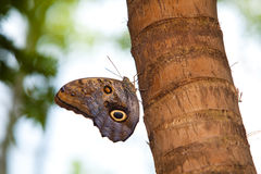 De getaande Vlinder van de Uil Royalty-vrije Stock Foto's