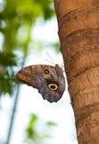 De getaande Vlinder van de Uil Stock Afbeeldingen