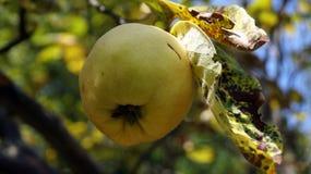 De geur van kweepeer in de onweerstaanbare herfst - Stock Foto's
