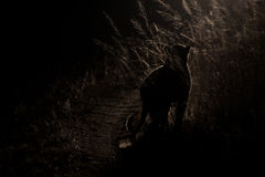 De gevaarlijke luipaardgang in duisternis om voor artistieke prooi te jagen bedriegt Royalty-vrije Stock Foto's