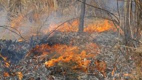 De gevaarlijke wilde brand in aard, brandwonden droogt gras Gebrand zwart gras in bosopen plek stock video
