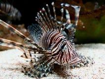 De gevaarlijke Zitting van Spotfin Lionfish op Bodem stock fotografie