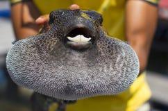 De gevaarlijkste onderwaterschepselen De vissen van de Fugukogelvis Het close-up van fuguvissen van de mensenholding royalty-vrije stock afbeelding