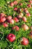 De gevallen appelen liggen op het gras stock afbeelding
