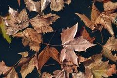 De gevallen bladeren van eik, Quercus, van de familie Fagaceae royalty-vrije stock foto's