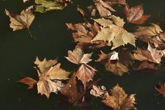 De gevallen bladeren van eik, Quercus, van de familie Fagaceae stock afbeelding