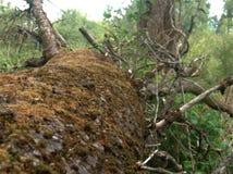 De gevallen boom is behandeld met mos royalty-vrije stock foto's