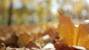 De gevallen esdoorn gele bladeren liggen op de grond in een park op een zonnige dag stock video