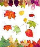 De gevallen esdoorn van de berkesp en vele de herfstbladeren Stock Fotografie