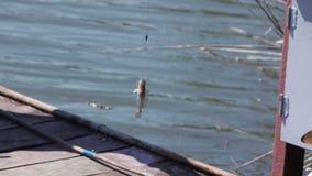 De gevangen riviergoby zomer stock video