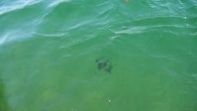 De gevangen vissen van de Regenboogforel stock videobeelden