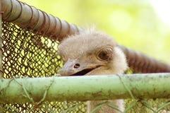 De gevangene van de struisvogel en droevig Stock Afbeeldingen