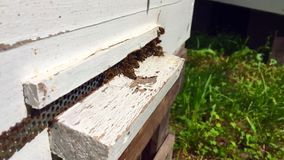 De gevleugelde bij vliegt langzaam aan bijenkorf verzamelt nectar op privé bijenstal van levende bloemen stock videobeelden