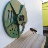 De gevleugelde bij vliegt langzaam aan bijenkorf verzamelt nectar voor honing op privé bijenstal van bloem stock afbeelding