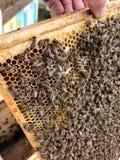 De gevleugelde bij vliegt langzaam aan honingraat verzamelt nectar voor honing op privé bijenstal stock afbeelding
