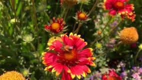 De gevleugelde bij vliegt langzaam aan de installatie, verzamelt nectar voor honing op privé bijenstal van bloem stock videobeelden
