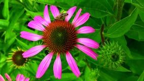 De gevleugelde bij vliegt langzaam aan de installatie, verzamelt nectar voor honing op privé bijenstal van bloem stock video