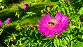 De gevleugelde bij vliegt langzaam aan de installatie, verzamelt nectar voor honing op privé bijenstal van bloem stock footage