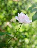 De gevoelige bloem nam toe royalty-vrije stock afbeeldingen