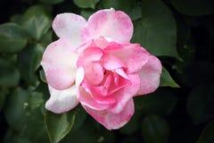 De gevoelige bloem nam toe Stock Foto's
