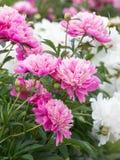 De gevoelige bloemen tuinieren roze pioenen Stock Foto