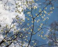 De gevoelige Bloemen van de Boom van de Kornoelje Stock Afbeeldingen