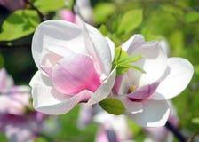 De gevoelige bloemen van een tropische magnolia in een stad tuinieren, Romantische bloem royalty-vrije stock foto