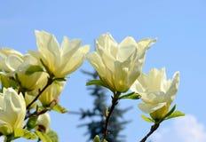De gevoelige bloemen van een tropische magnolia in een stad tuinieren, een romantische bloem, beschikbare ruimte voor tekst royalty-vrije stock afbeeldingen