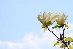 De gevoelige bloemen van een tropische magnolia in een stad tuinieren, een romantische bloem, beschikbare ruimte voor tekst stock foto