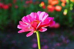 De gevoelige eenzame roze bloem van Zinnia stock afbeeldingen