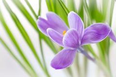 De gevoelige krokusbloem bloeide op de vensterbank stock afbeelding