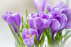 De gevoelige krokusbloem bloeide op de vensterbank royalty-vrije stock fotografie
