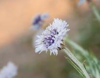 De gevoelige purpere en blauwe bloem van het Graan Stock Fotografie
