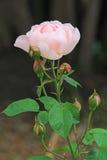De gevoelige roze pioenzomer nam toe royalty-vrije stock fotografie
