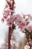 De gevoelige tak van de kersenbloesem royalty-vrije stock foto's