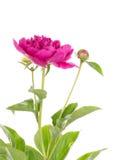 De gevoelige tuin van de bloem heldere purpere pioen Royalty-vrije Stock Foto