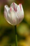 De gevoelige tulp van de de lentebloem Royalty-vrije Stock Afbeelding