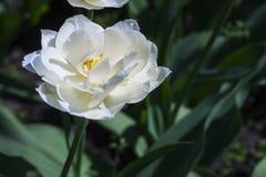 De gevoelige tulp van de de lentebloem Stock Foto's