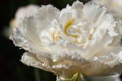 De gevoelige tulp van de de lentebloem Stock Foto
