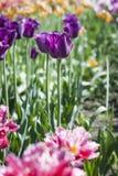De gevoelige tulp van de de lentebloem Royalty-vrije Stock Fotografie